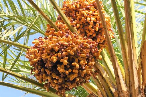 Palm, Fruit, Tree, Nature, Garden, Branch, Green, Plant