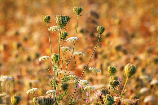 Bees, Cow Parsley, Summer, Sunrise, Nature, Landscape