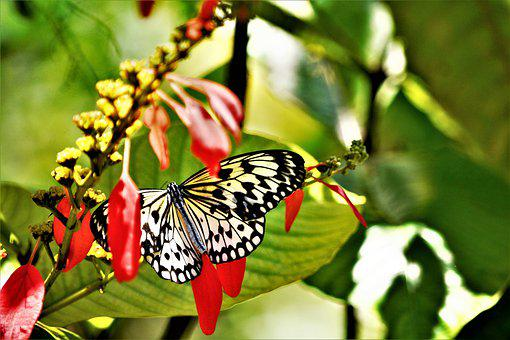 Butterfly, Large, Colorful, Tropical