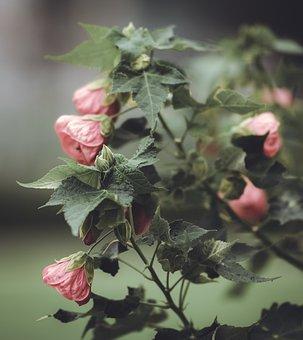 Beautiful Mauve, Abutilon, Mallow, Flower, Plant