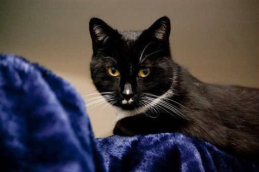 Cat, Feline, Animal, Pet, Cute, Domestic, Mammal, Fur