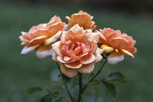 Roses, Garden, Flower, Romantic, Petals, Nature, Beauty