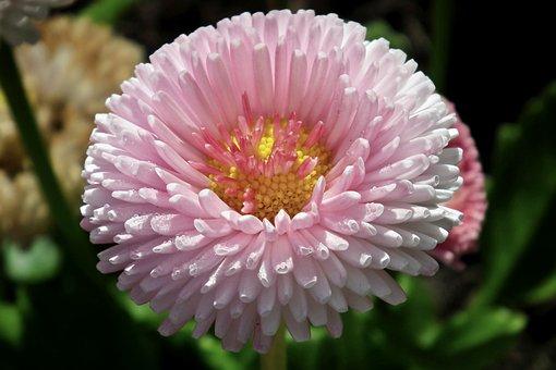 Daisy, Flower, Summer, Garden, Nature, The Petals