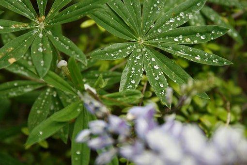 Lupine, Green, Raindrop, Rain