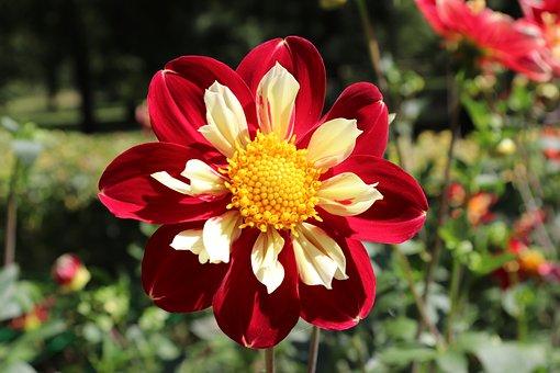 Dahlias, Bicolor, Red And Cream, Heart Yellow, Summer