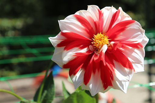 Dahlias, Bicolor, Red And White, Flowers, Plants