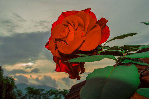 Rose Of My Wife, Red Rose, Evening, Green Leaves