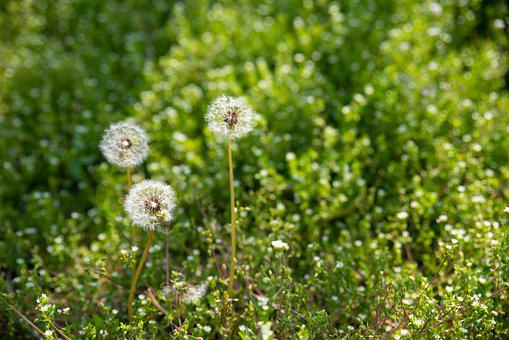 Dandelion, Mr Hall, Nature, Plants, Seeds, Flowers