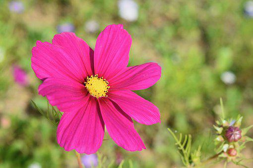 Flower, Flower Cosmos, Flower Color Fuchsia, Stamens