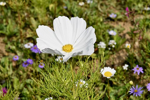 Flower, Flower Cosmos, Flower Color White, Stamens