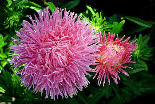 Aster, Flowers, Pink, Garden, Summer, The Petals