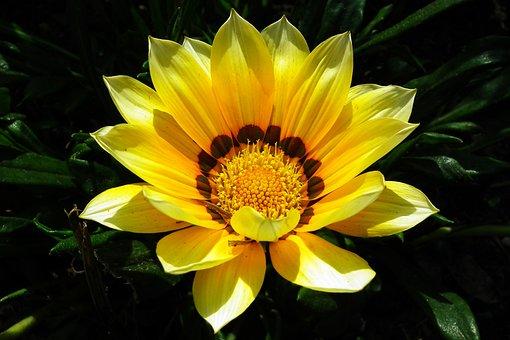 Gazania, Flower, Nature, Garden, Closeup, Summer, Macro