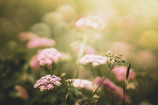Yarrow, Meadow, Sunset, Atmospheric, Nature, Flower
