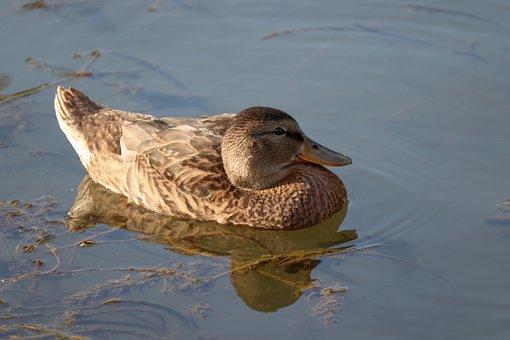 Mallard, Water, Mirroring, Duck, Female, Floats, Swim