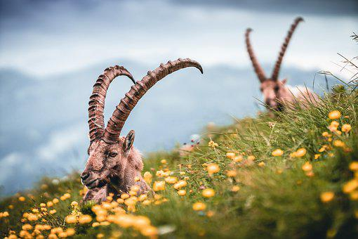 Capricorn, Ibex, Alpine, Switzerland, Mountains, Hiking