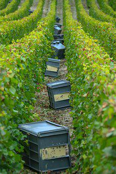 Harvest, Champagne, Vines, Crates, Roads, Grape, Wine