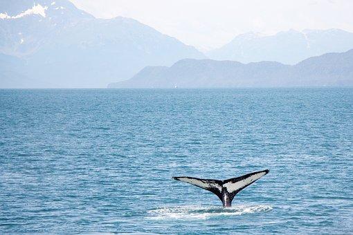 Whale, Tail, Alaska, Cruise, Ocean, Water, Wildlife