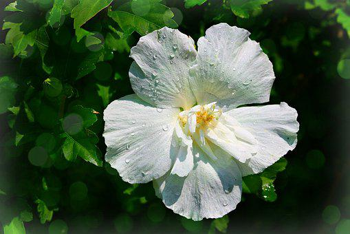 White, Rose Of Sharon, Hibiscus, Nature, Blossom