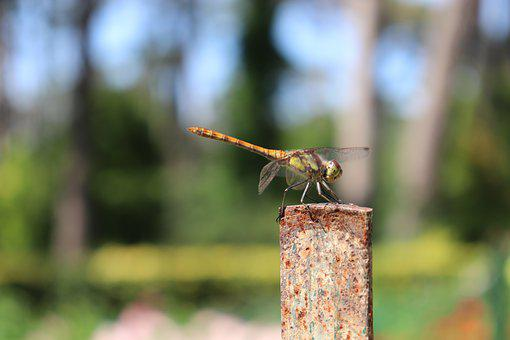 Dragonfly, Insects, Nature, Wing, Summer, Demoiselle