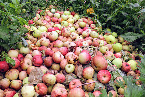 Apples, A Lot, Bad, Mature, Grass, Land, A Bunch Of