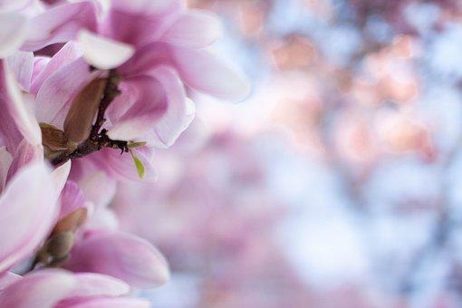 Magnolia, Flower, Spring, Bloom, Blossom, Tree, Floral