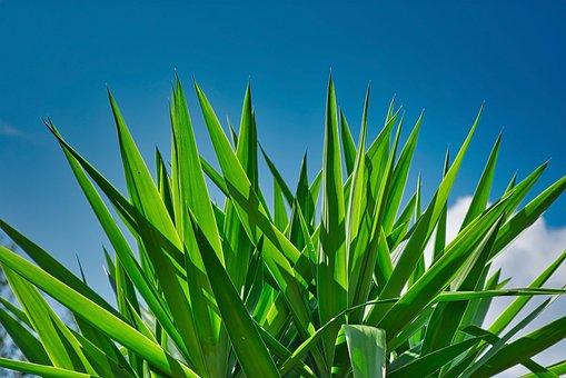 Agave, Plant, Green, Blue Sky, Cactus, Succulent