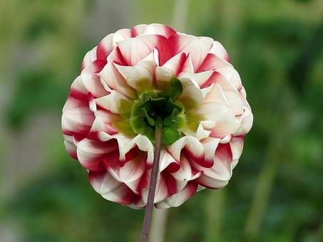 Dahlia, Flower, Bloom, Petals, Red, White, Nature