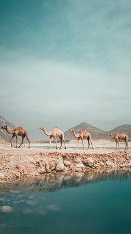 Oman, Salalah, Str, Camel, Incense, Arabia, Desert, Dry