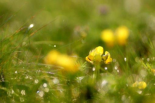 Flower, Yellow, Morgentau, Dew, Drop Of Water, Bokeh