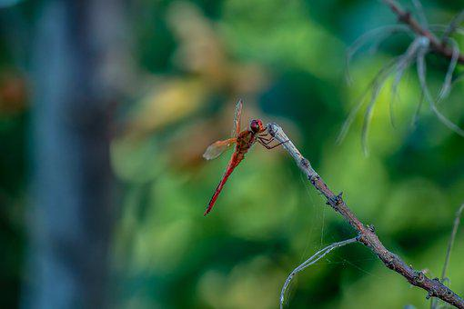 Dragonfly, Dragonflies, Nature, Outdoors, Scenic, Bokeh