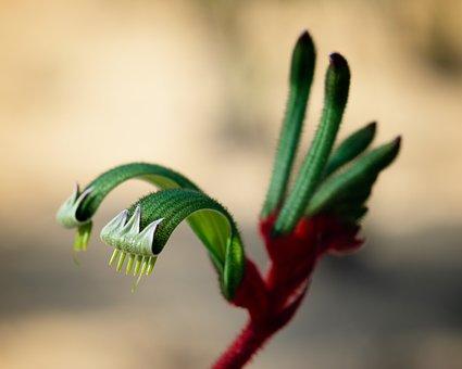 Kangaroo Paw, Australia, Native, Flower, Plant