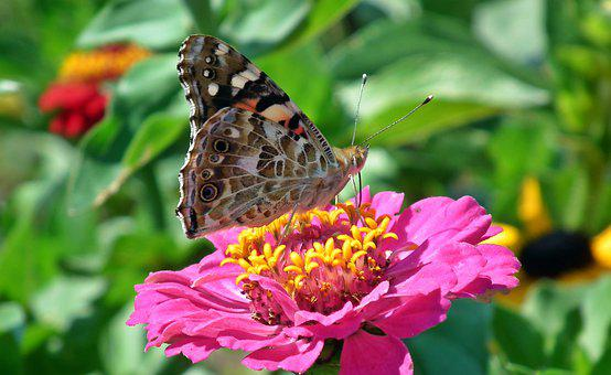 Butterfly, Insect, Flower, Zinnia, Nature, Macro, Wings