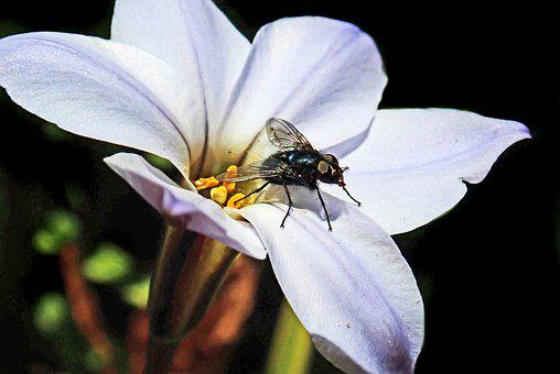 Fly, Tongue, Pollen, Eating, Flower, Insect, Garden
