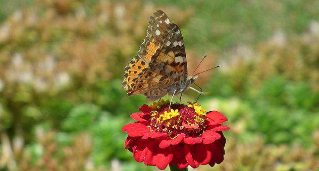 Butterfly, Insect, Flower, Zinnia, Red, Nature, Macro