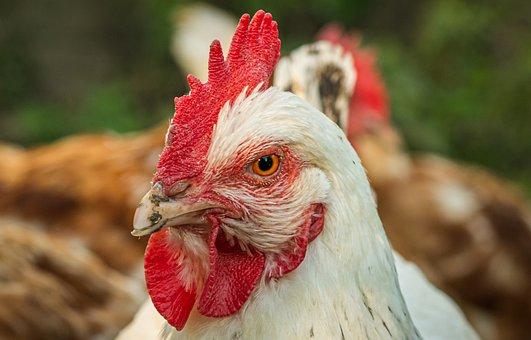 Chicken, Hen, Portrait, Close Up, Poultry, Free Range