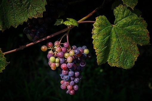 Grapes, Winegrowing, Vine, Fruit, Grapevine, Wine