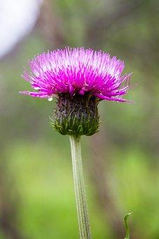 Thistle Heterophyllous, Thistle, Grass, Nature, Plants