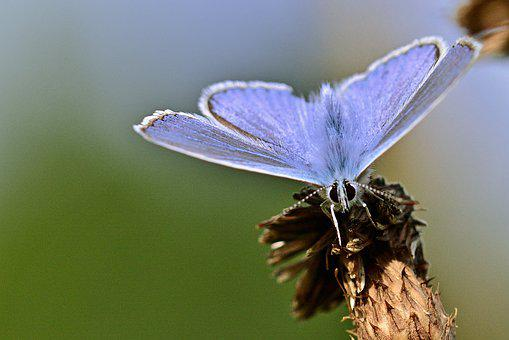 Butterfly, Common Blue, Close Up, Summer, Heat, Meadow
