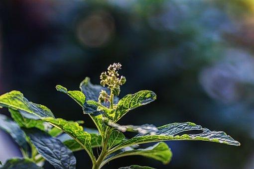 Lakonos, Berry, Immature, Flora, Bokeh, Flower