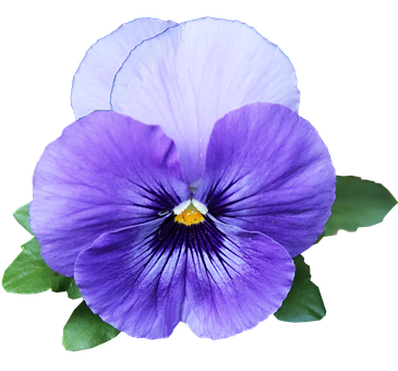 Flower, Purple, Pansy, Cut Out, Isolated, Garden