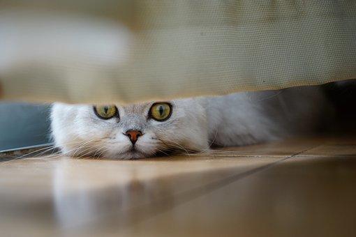 Cat, Peek, Flooring, Janjira, Face, Gap