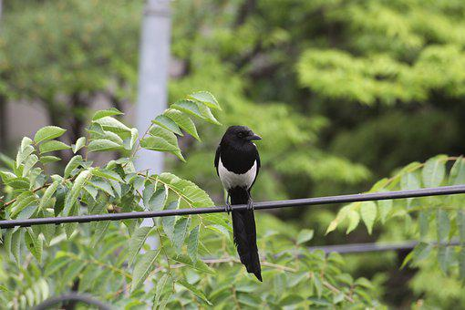 Magpie, New, Feather, Nature, Poultry, Birds, Wing