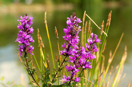 Bee, Purple Flower, Nature, Flower, Purple, Opelenie