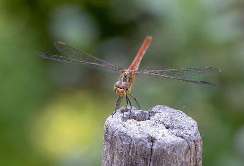 Dragonfly, Arthropod, Insect, Nature, Outdoor, Close-up