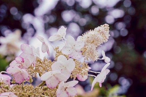 Hydrangea, Panicle Hydrangea, Garden