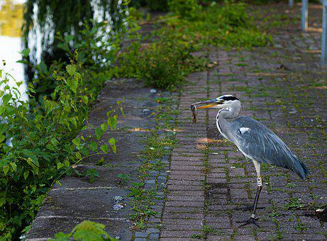 Heron, Nature, Bird, Plumage, Pen, Water, Grey, Wild