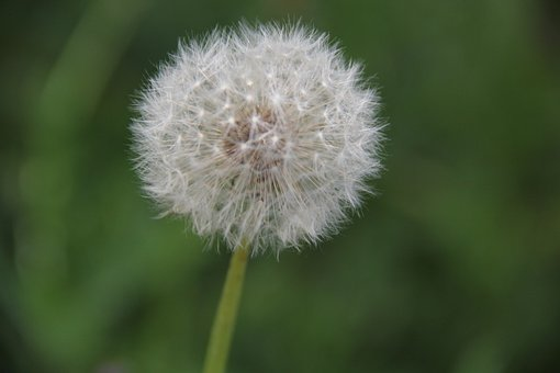 Dandelion, Nature, Close Up, Pointed Flower, Summer