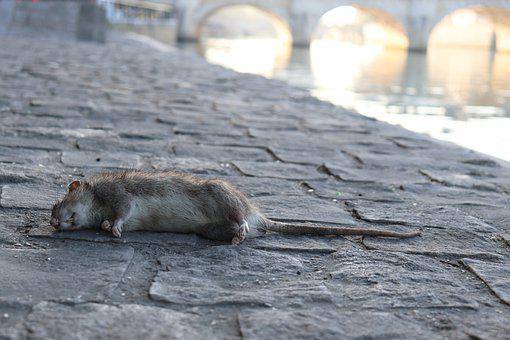 Dead Rat, Rats, Rodents, Animals Harmful, Sewers