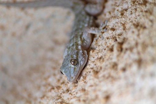 Gecko, Geckos, Gekko, Geko, Pet, Reptile, Animal