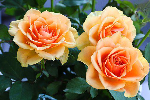 Roses, Flowers, Orange, Roses Are In Bloom, Close Up